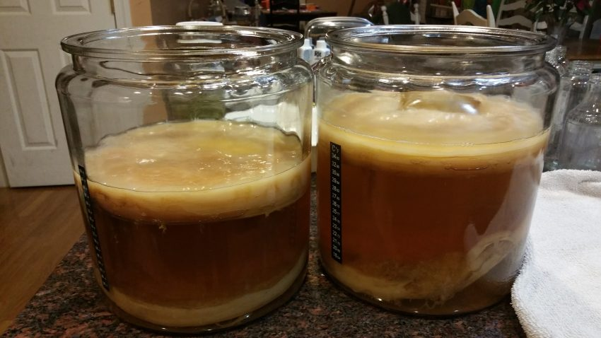 Two gallon glass jars for brewing kombucha.